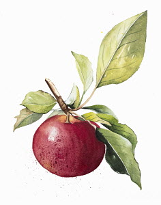 Watercolour painting of ripe apple on twig