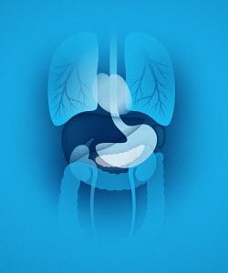 Biomedical illustration of human internal organs