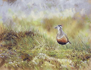Eurasian Dotterel in grass