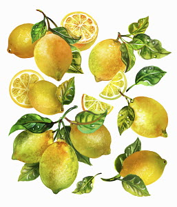 Fresh lemons with leaves and stalks