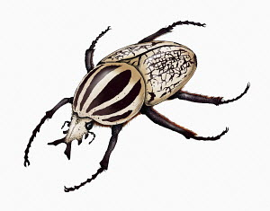 Illustration of goliath beetle