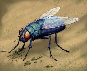Illustration of bluebottle fly eating