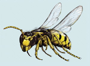 Illustration of wasp in flight