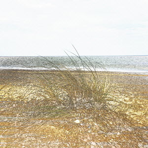 Marram grass growing on beach