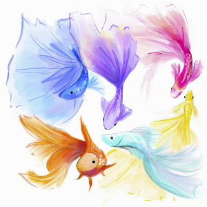 Multi coloured fantail goldfish