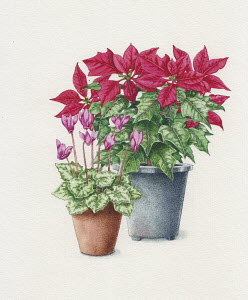 Poinsettia and cyclamen plants in pots