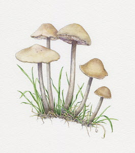 Illustration of fairy ring champignon