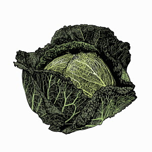 Illustration of savoy cabbage