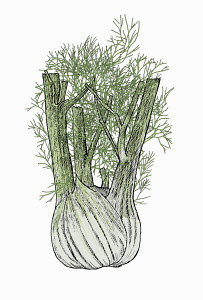 Illustration of fennel bulb