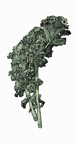 Illustration of kale leaves