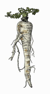 Illustration of parsnip