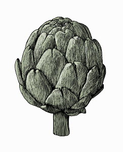 Illustration of globe artichoke
