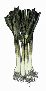 Illustration of bunch of leeks