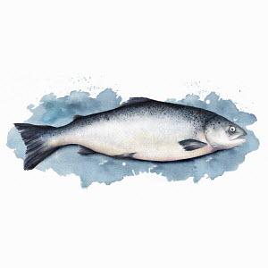 Single salmon