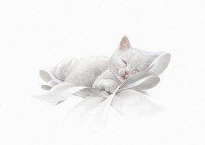 Cute white kitten asleep