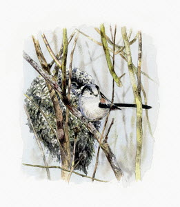 Illustration of long tailed tit beside nest