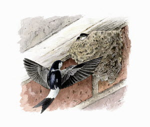 Illustration of house martin returning to chicks in nest
