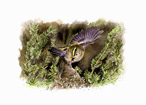 Illustration of goldcrest feeding chick in nest