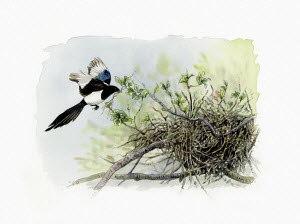 Illustration of magpie approaching nest