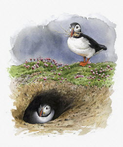 Illustration of Atlantic puffins nesting in burrow