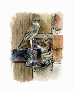 Illustration of spotted flycatchers nesting on metal hinge bracket