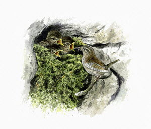 Illustration of wren feeding chicks in mossy nest