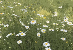 Ox-eye daisy meadow