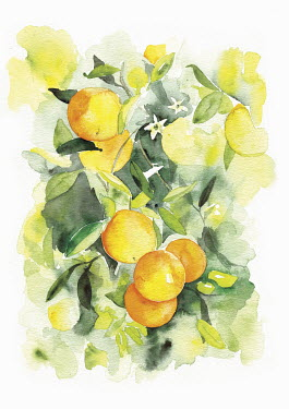 Watercolour painting of oranges growing on tree