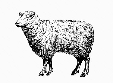 Black and white scraperboard engraving of a sheep