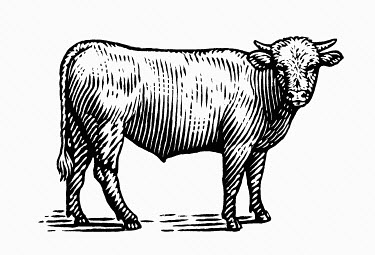 Black and white scraperboard engraving of a bull