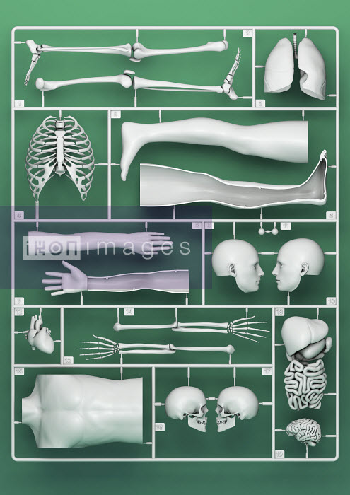 Plastic model kit for male anatomy - Magictorch
