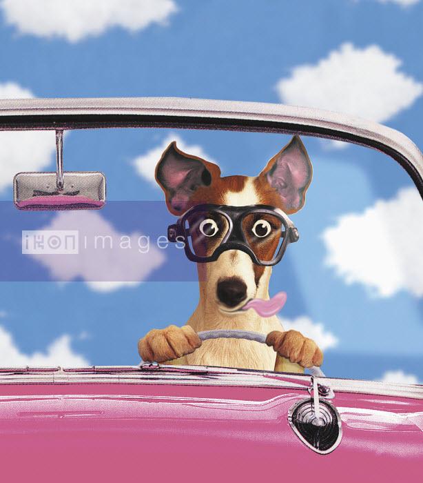 Dog driving convertible car - Dog driving convertible car - Gary Bates