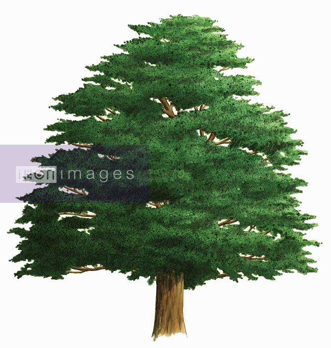 Single tree on white background, Yew (Taxus baccata) - Single tree on white background, Yew (Taxus baccata) - Alan Baker