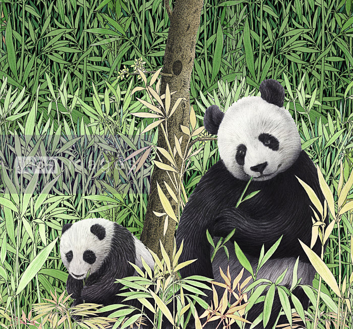Stock Illustrations Highly Conceptual Images Ikon Images Adult And Baby Pandas Eating Bamboo In The Wild