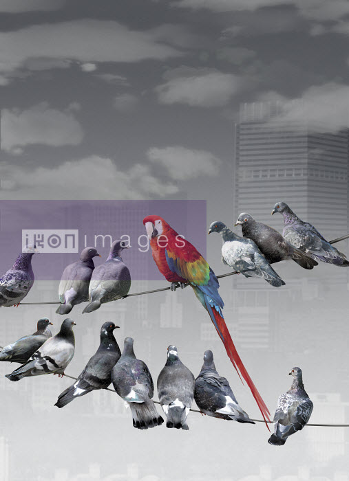 Multicolored parrot sitting on wire standing out from gray pigeons - Multicolored parrot sitting on wire standing out from gray pigeons - Derek Bacon