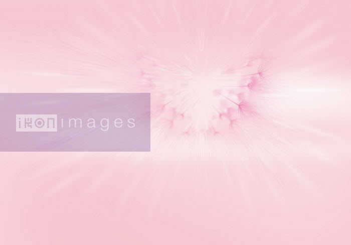 Abstract pink backgrounds of dandelion clock - Abstract pink backgrounds of dandelion clock - Barry Patterson