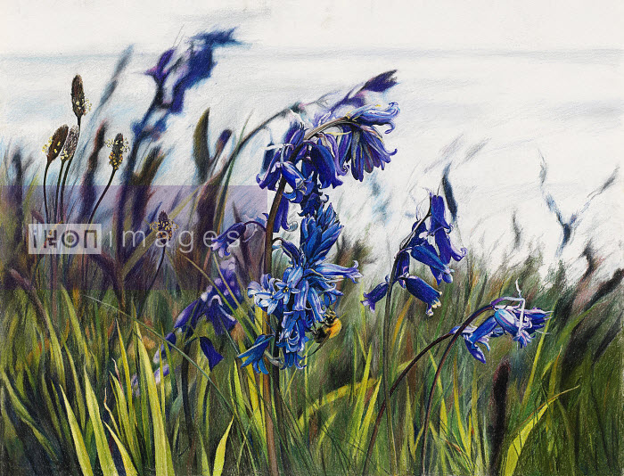 Picture 3666 - Close up of bluebells and plantain - Rosie Sanders