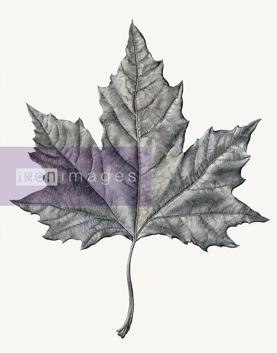 Single maple leaf - Single maple leaf - Rosie Sanders