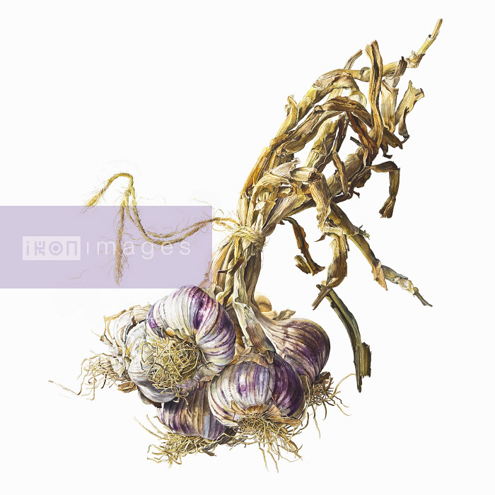 Bunch of garlic bulbs tied with string - Bunch of garlic bulbs tied with string - Rosie Sanders