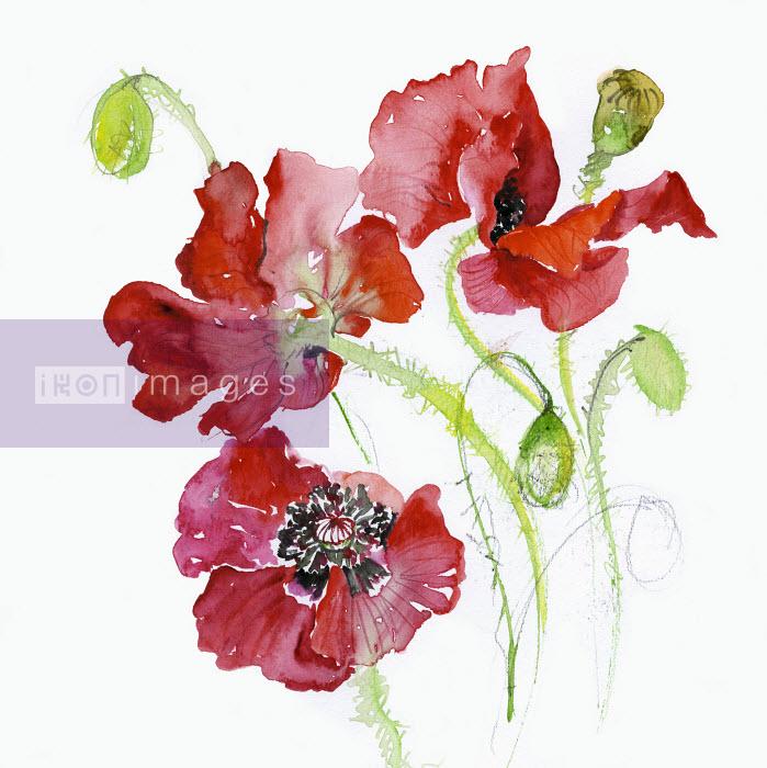 Common Poppy (Papaver Rhoeas) - Common Poppy (Papaver Rhoeas) - Rosie Sanders