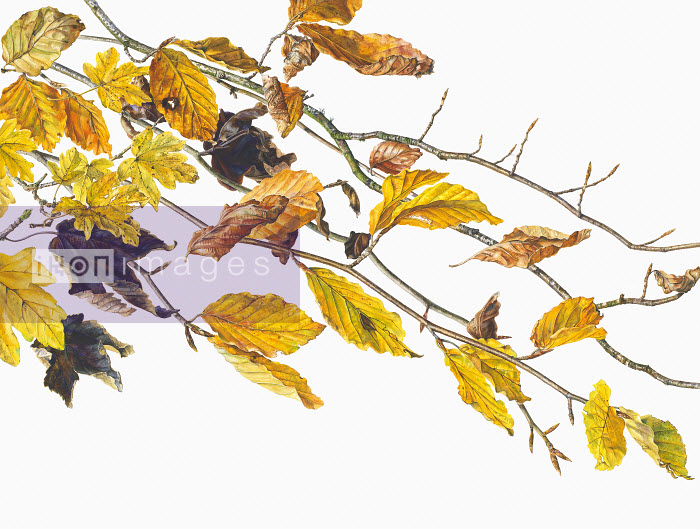 Picture 3647 - Close up watercolor painting of autumn leaves on twigs - Rosie Sanders