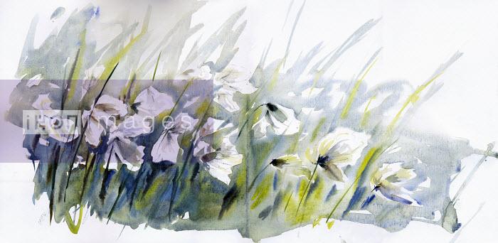 Cotton grass blowing in wind - Cotton grass blowing in wind - Rosie Sanders