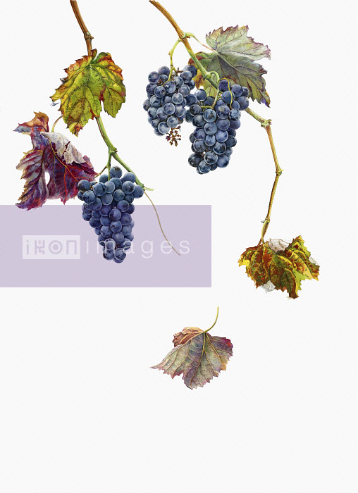 Picture 3949 - Ripe black grapes hanging on vine in autumn - Rosie Sanders