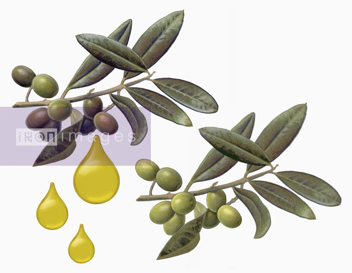 Olives on branch with drops of olive oil - Olives on branch with drops of olive oil - Syd Brak