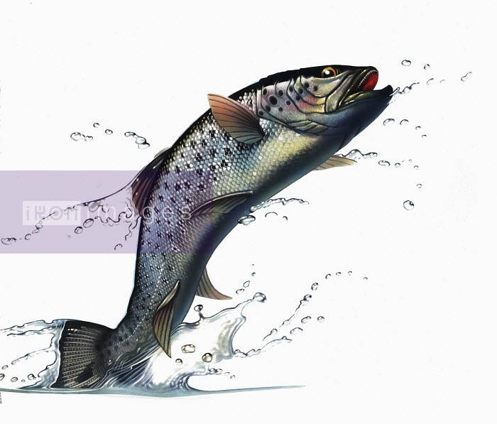 Salmon leaping out of water - Salmon leaping out of water - Syd Brak