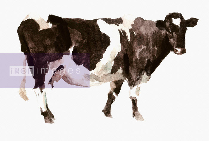 Watercolor painting of Shetland cow - Watercolor painting of Shetland cow - Philip Bannister