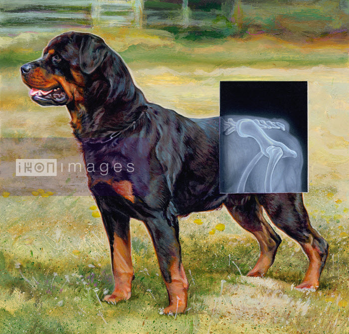 Rottweiler dog with x-ray over hips of hind legs - Rottweiler dog with x-ray over hips of hind legs - Sharif Tarabay