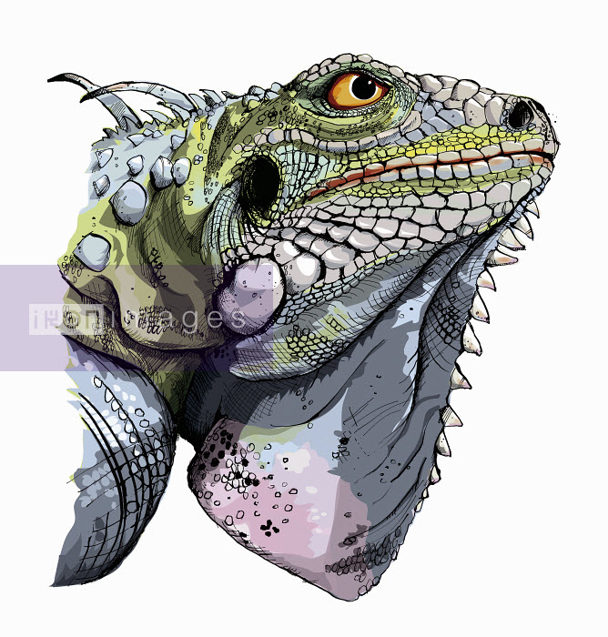 Close up head and shoulders of green iguana - Close up head and shoulders of green iguana - Sholto Walker