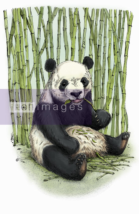Giant panda sitting eating bamboo - Giant panda sitting eating bamboo - Sholto Walker