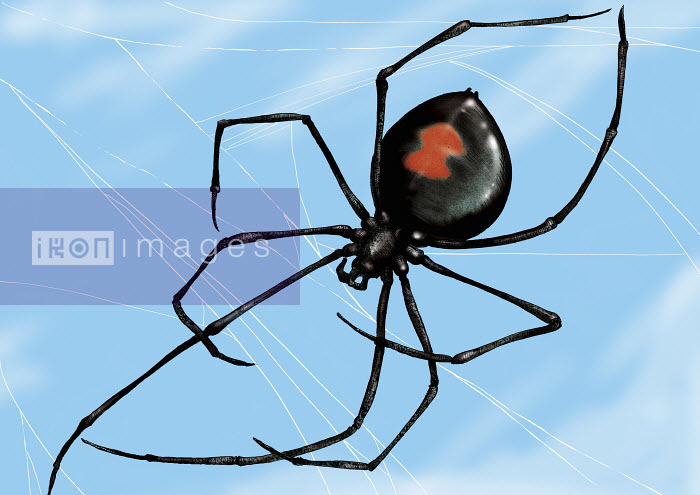 Close up of Black Widow spider in web - Close up of Black Widow spider in web - Sholto Walker